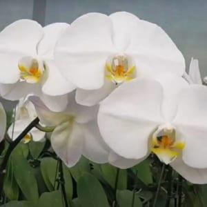 Bông hoa lan hồ điệp xuất khẩu có kích thước to, cánh dày và rất đẹp