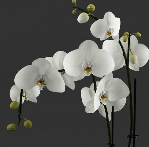 Bông Hoa Lan Màu Trắng Mang Ý Nghĩa Thanh Cao, Sang Trọng Rất Hợp Trong Hoa Mừng Thọ