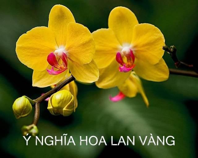 Bông Hoa Lan Màu Vàng To Đẹp, Cánh Dày Chúc Ông Bà Luôn Khỏe Mạnh