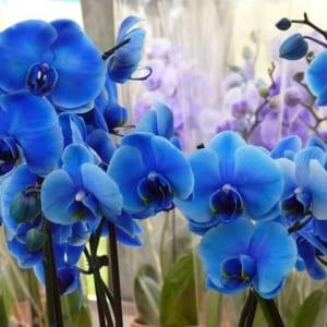 Cành hoa lan hồ điệp màu xanh dương với màu sắc vô cùng đẹp mắt