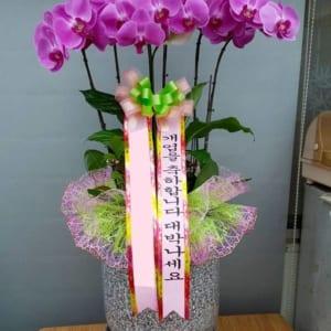 Chậu hoa lan hồ điệp Hàn Quốc 6 cành màu tím được nhiều người tìm mua