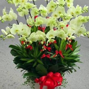 Chậu hoa lan hồ điệp xanh cốm 18 cành vô cùng mãn nhãn bởi vẻ đẹp tươi sáng