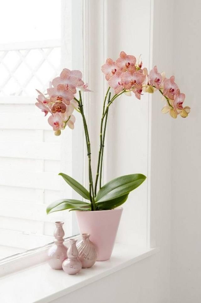 Chọn hoa lan hồ điệp nên chọn những cây khỏe mạnh, cho nhiều hoa