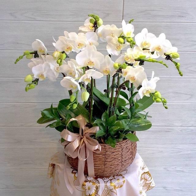 Hoa lan hồ điệp là món quà tuyệt vời để dành tặng cho những người bạn yêu thương