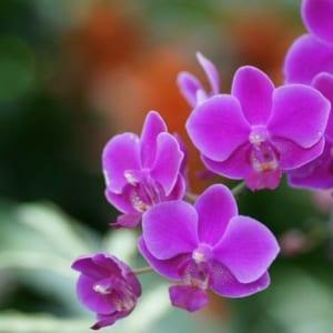 Hoa Lan Màu Tím Làm Tăng Vẻ Đẹp Nổi Bật Và Sang Trọng Cho Chậu Hoa
