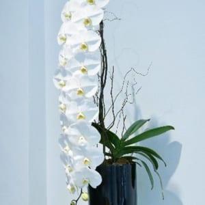 Lan Hồ Điệp Siêu Dài Có Cành Rất Dài Với Những Bông Hoa Rất To Và Đẹp