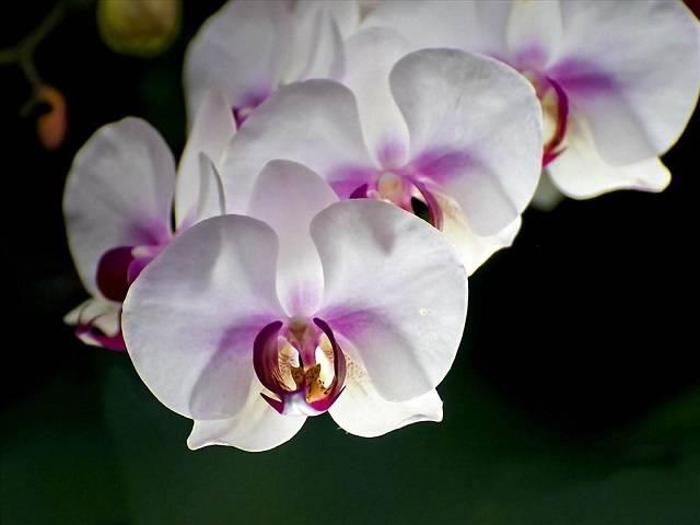 Mỗi Bông Hoa Trong Chậu Hoa Hồ Điệp Siêu Bông Đều Rất To Và Đẹp
